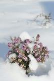 Erica in de sneeuw - heide Stock Foto