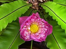 Roze Heilig Lotus Stock Fotografie