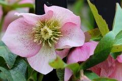 Roze hellebore Royalty-vrije Stock Afbeeldingen