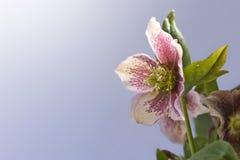 Roze Hellebore royalty-vrije stock fotografie