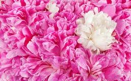 Roze het bloemblaadjeachtergrond van de pioenbloem Paeonialactiflora stock fotografie