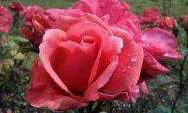Roze het fluweel nam met dauwdaling toe Royalty-vrije Stock Foto