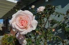 Roze het Huisrug van de Rozen Volledige Bloei stock fotografie