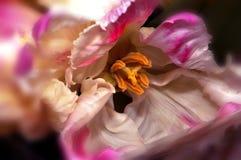Roze Hibiscus Royalty-vrije Stock Foto's