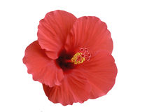 Roze Hibiscus Royalty-vrije Stock Fotografie