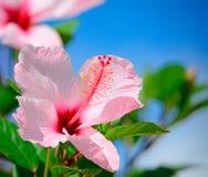 Roze Hibiscus stock afbeelding