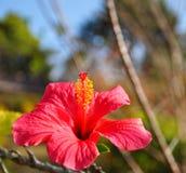 Roze Hibiscus Royalty-vrije Stock Foto