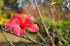 Roze Hibiscus Stock Foto