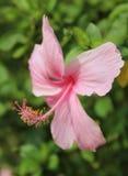 Roze Hibiscus Stock Foto's