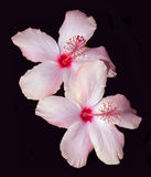Roze Hibiscus op Zwarte Royalty-vrije Stock Fotografie