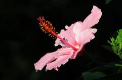 Roze Hibiscusbloem Royalty-vrije Stock Foto's