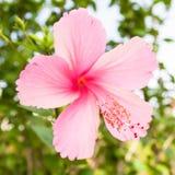 Roze hibiscusbloem stock foto's