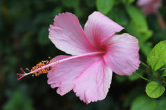 Roze Hibiscusbloem - Hibiscus rosa-sinensis Royalty-vrije Stock Afbeeldingen