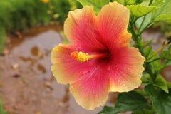 Roze Hibiscusbloem - Hibiscus rosa-sinensis met waterdruppeltje Royalty-vrije Stock Afbeeldingen