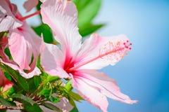 Roze hibiscusclose-up stock afbeeldingen