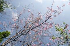 Roze Himalayan-Kersenbloem Royalty-vrije Stock Fotografie