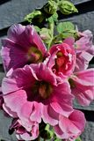 Roze Holly Hock heldert de de zomerblauw op Royalty-vrije Stock Foto