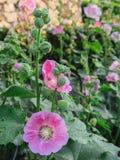 Roze hollyhockAlcearosea is bloeiend Royalty-vrije Stock Afbeeldingen