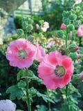 Roze hollyhockAlcearosea is bloeiend Royalty-vrije Stock Afbeelding