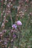 Roze hollyhockAlcearosea is bloeiend en droogt Royalty-vrije Stock Foto