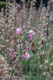 Roze hollyhockAlcearosea is bloeiend en droogt Stock Fotografie