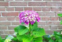 Roze Hortensia-bloem oude bakstenen muur, Nederland Royalty-vrije Stock Afbeelding