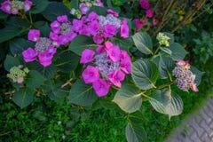 Roze hortensia in gaden Stock Afbeeldingen
