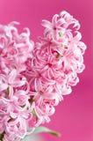 Roze hyacint Royalty-vrije Stock Afbeeldingen