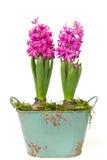 Roze hyacint 1 Royalty-vrije Stock Foto's