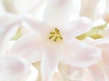 Roze hyacint Stock Foto's