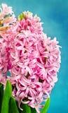 roze hyacint Stock Afbeelding