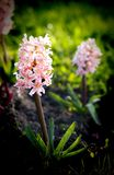 Roze hyacint in een natuurlijk milieu stock afbeelding
