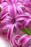 Roze hyacint (macro) Royalty-vrije Stock Foto's