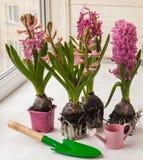 Roze hyacint met wortels voor het planten in een pot Stock Afbeeldingen