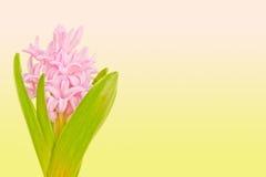 Roze hyacint op gekleurde achtergrond Royalty-vrije Stock Foto's