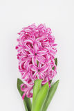 Roze hyacint op witte achtergrond Stock Foto's