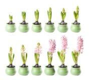 Roze hyacint timelapse Royalty-vrije Stock Foto's