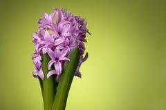 Roze hyacintbloem op groen Royalty-vrije Stock Foto
