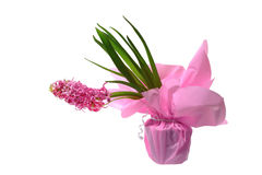 Roze hyacintbloemen Royalty-vrije Stock Afbeelding
