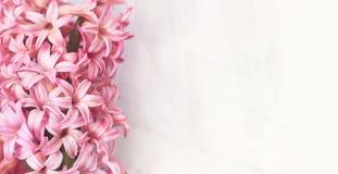 Roze Hyacintbloemen op witte achtergrond, met exemplaarruimte voor y stock fotografie