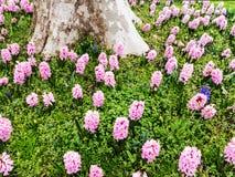 Roze hyacinten Stock Fotografie