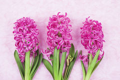 Roze hyacinten op roze achtergrond Stock Afbeelding