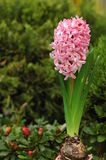 Roze Hyacinthus Orientalis Stock Fotografie
