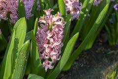 Roze Hyacinthus, Speciesorientalis, Hyacint Aantrekkelijke de lente bolvormige bloemen stock afbeeldingen