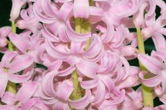 Roze hyacinthusbloem in een helder licht stock foto
