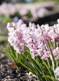 Roze hyazinth Royalty-vrije Stock Foto's