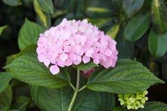 Roze hydrangea hortensia royalty-vrije stock foto's