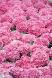 Roze hydrangea hortensia royalty-vrije stock foto