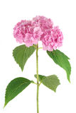 Roze hydrangea hortensia stock fotografie