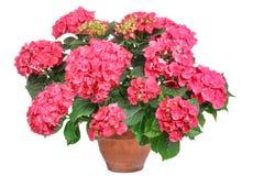 Roze hydrangea hortensia, Royalty-vrije Stock Foto's